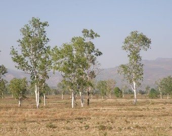 White Gum Tree Seeds, Eucalyptus alba - 25 Seeds