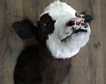 Cow calf shoulder mount taxidermy sculpture