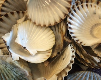 SCALLOP  shells-- two dozen beautiful Scallop shells from the beaches of Wellfleet and Cape Cod MA