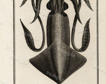 1790 Original Antique Natural History Engraving of Squid - Histoire Naturele by the Buffon de comte -  Black and white Over 200 years old