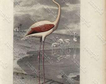 Original Hand Colored Engraving of Bird - Gorgeous Le Flammant  Flamingo