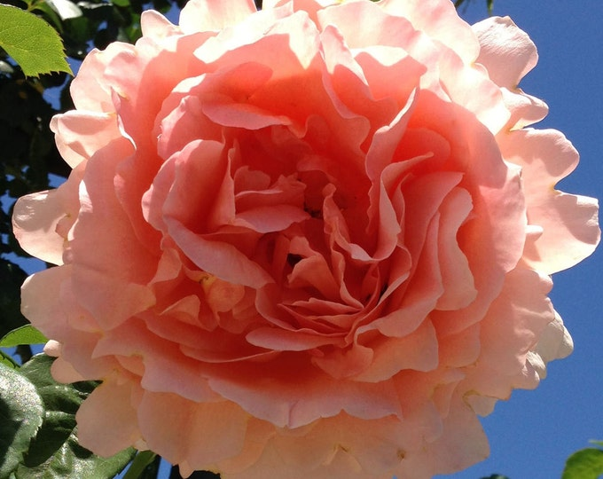 Polka ™ Rose Bush 35+ Petals Apricot Fragrant Climbing Rose Plant Organic Grown Potted - Easy To Grow! Own Root Rose
