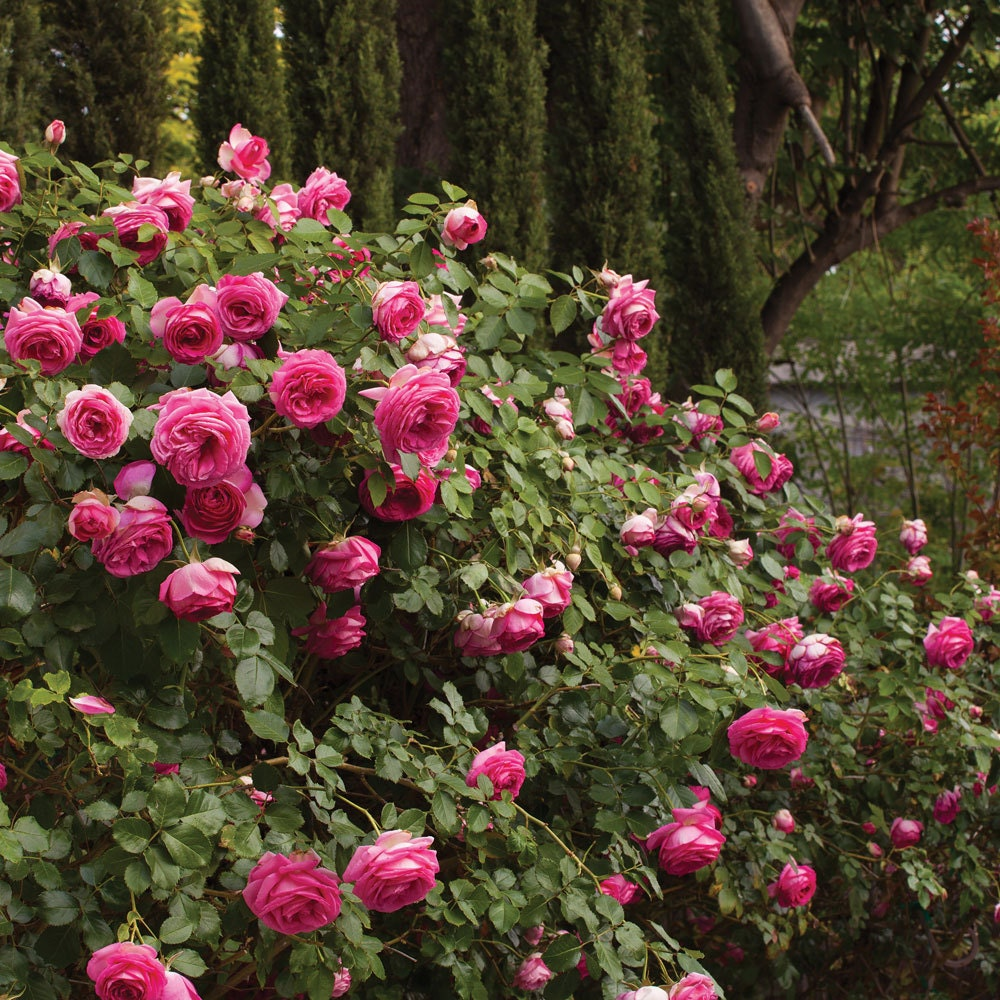 pretty in pink eden climbing rose bush fragrant 70. Black Bedroom Furniture Sets. Home Design Ideas