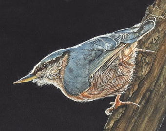 Nuthatch watercolor print 5 by 7