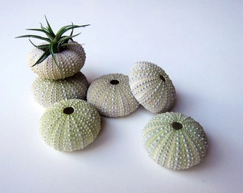 Sea Urchin Shells for Home Decor or Craftworks. Set of 6 Green Sea Urchins