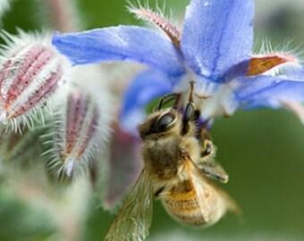 25 Seeds, Borago officinalis, bees, beekeeping, Honey
