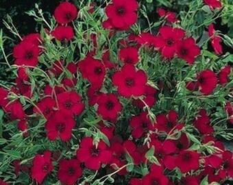 Flax-  Scarlet- 200 Seeds