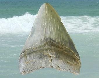 """Megalodon Shark Tooth  (+3"""") MST-B006"""