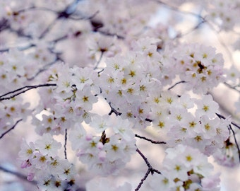 Japanese Cherry Blossom sakura tree branch photograph, Cherry blossom art print Spring nature, white pale pink lavender floral girls bedroom