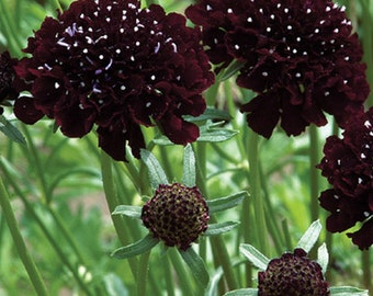 Scabiosa Black Knight Pin Cushion Plant * Gothic!! 20 Seeds