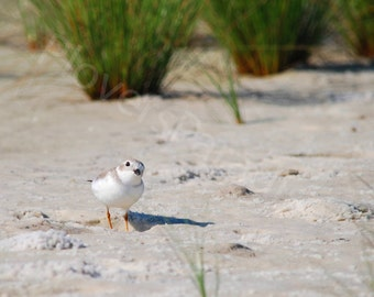 SALE Endangered Piping Plover Photograph // Florida Nature Bird Photograph Print