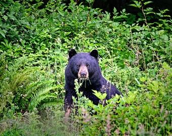 Bear Print, Bear Art, Animal Photography, Animal Decor, Bear Photo, Wildlife Photography, Nature Prints, Nature Photography, Nature Decor