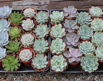 """15 Gorgeous Rosette ONLY Succulents in their 4"""" plastic containers wedding shower FAVORS party gifts plants"""