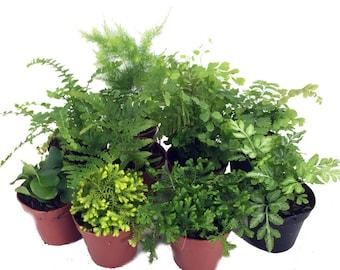 """Mini Ferns for Terrariums/Fairy Garden - 10 Different Plants-2"""" Pots"""