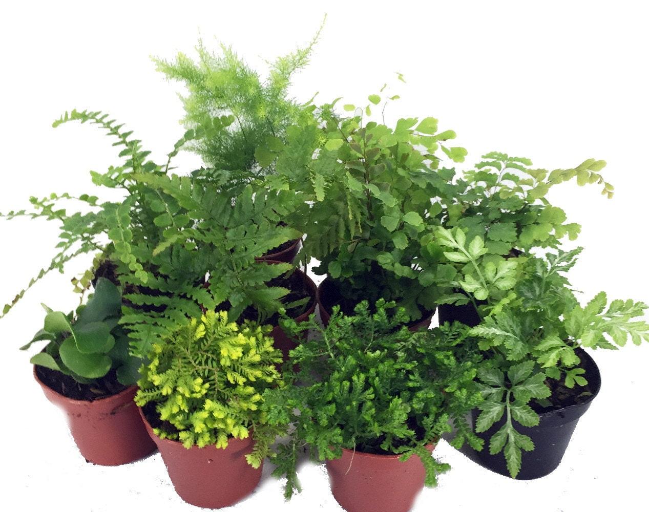 Mini ferns for terrariums fairy garden 10 different - Miniature plants for fairy gardens ...