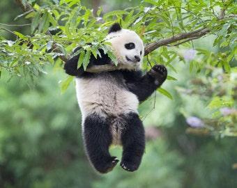Pandas love to hang around