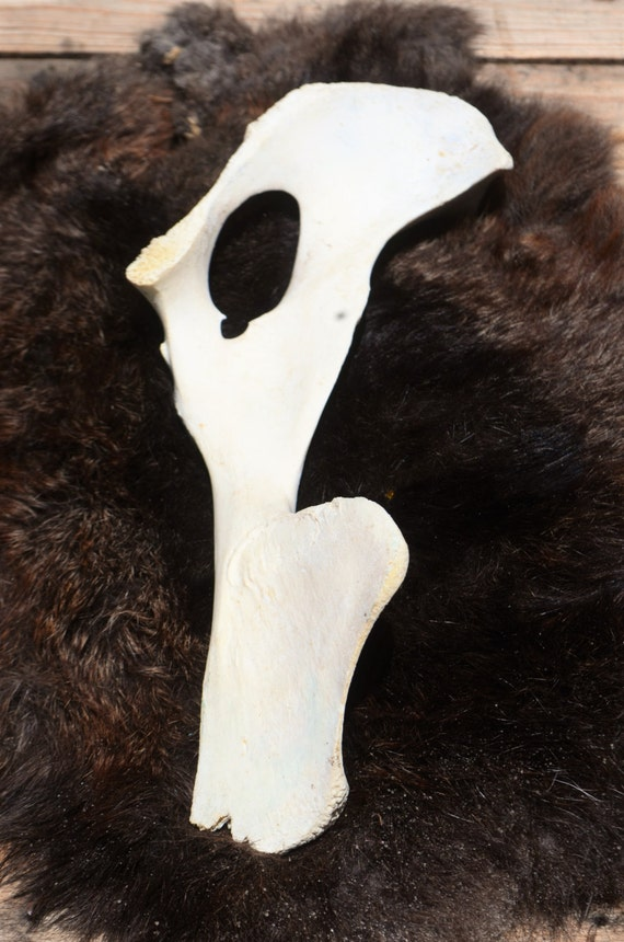 Deer pelvic bone, split, half natural found object.