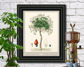 Cashew antique botanical print Vintage Cashew illustration Kitchen wall art  0436