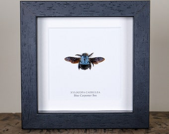 The Blue Carpenter Bee in Box Frame (Xylocopa caerulea)