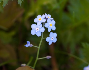 Forget-Me-Not! Flower Photograph.