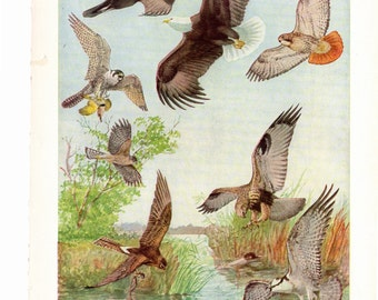 From the book Birds of America plate front and back Bald Eagle, Turkey Vulture, Cooper's Hawk
