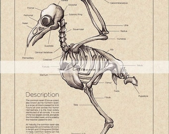 Printable Art Instant Download - Raven Crow Skeleton Diagram Vintage - Paper Crafts Scrapbooking Altered Art - Vintage Bird Anatomy Chart