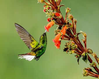 Hummingbird Photo, Hummingbird Print, Nature Print, Bird Picture, Bird Photography, Hummingbird Art, Bird Feeding, Hummingbird, Costa Rica