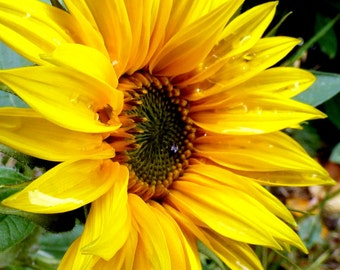 Bright Yellow Sunflower in the Rain - An A4  photographic print