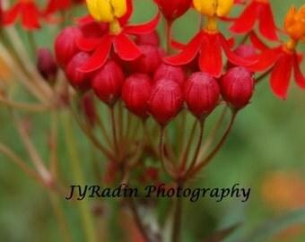 Red, Yellow, Orange Tropical Milkweed Flower Macro Photo- Wall/Bedroom Decor- Home Decor Photography