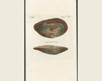 1812 Antique Shell Print Sand Mya Thomas Pennant British Zoology Original