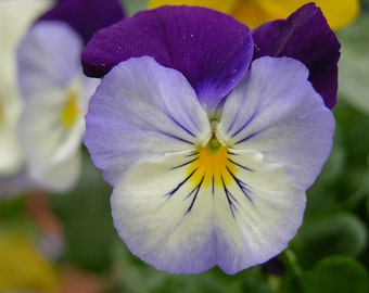 Purple & Blue Pansy Photograph