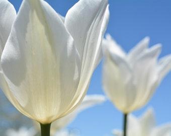 Beautiful White Tulips Against A Deep Blue Sky #231
