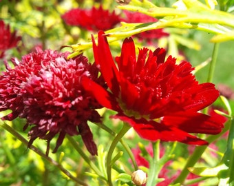 Nature Photography, Red Chrysanthemum, My Garden, BC