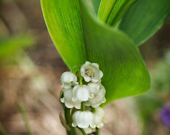 Return of Happiness - Lily of the Valley - Good Luck Charm