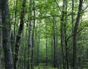 "Nature Photography, Forest, Woodland, Green, Trees, New England, Wild, Path, 6x9 or 8x12. ""Forest Path No.2""."