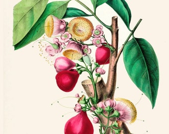 antique french botanical print eugenia jambos tree and fruits illustration rose apple tree digital download
