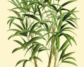 antique french botanical print tropical palm tree rhapis illustration digital download