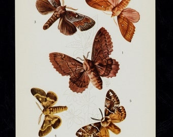 1930 Antique BUTTERFLY print, Entomology,