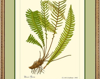DEER FERN - Vintage Botanical 12x16 or 11x14 print reproduction 507