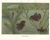 Vintage Print Fishes Red Betta Brehms Tierleben 1920s