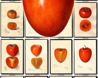 PERSIMMON-1 Collection of 100 vintage images persimon Diospyros pictures High resolution digital download printable Jiro Japanese date-plum