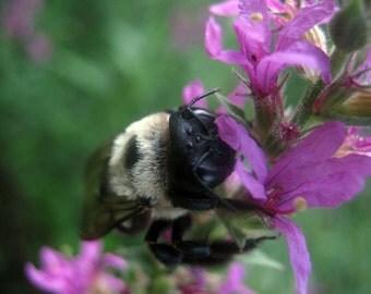 Bumblebee Photo Print, Bee Photo Print, Insect Photo Print, Nature Photo Print
