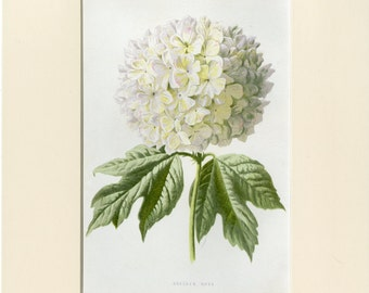 Guelder Rose Art Print - Antique Lithograph C.1890 by S. Hibberd - Unique Gift, Wall Art, Home Decor - White Flower, Ready to Frame 8x10