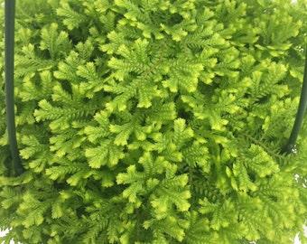 "Golden Moss Fern - Selaginella - 6"" Hanging Basket"