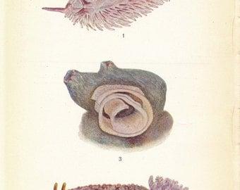 1928 Sea Slugs Antique Print