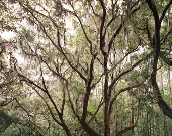 "Nature Photography, Landscape, Photo, Spanish Moss, Print, Green, Trees, Oaks, Majestic, Country, Vertical, Forest, Film, - ""Kings"""