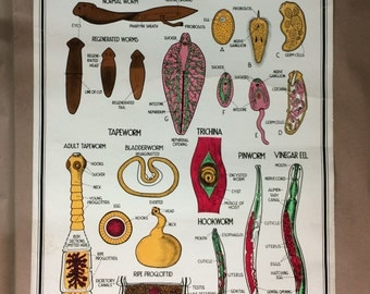 1940's Scientific Diagram Wall Hanging - Flatworms Roundworms