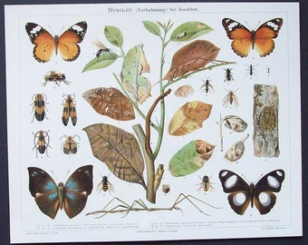 Antique Mimicry illustration Butterflies and insects German