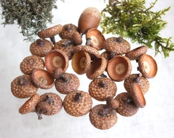 Acorn caps set. Caps acorn for creativity. Oak acorns. Eco acorns.