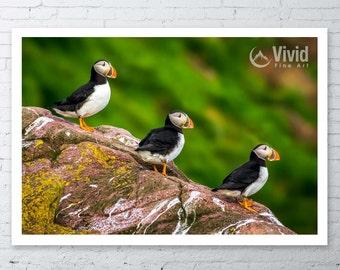 Bird photography Puffin, small canvas, seabird wall art, framed nature picture, canvas art print, nursery wall decor, 3 birds, matted print